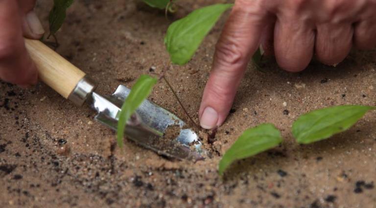 клематисы для урала сорта