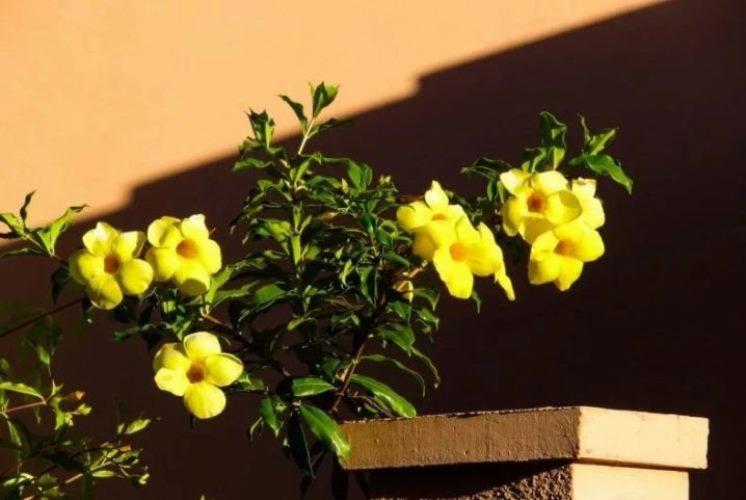 цветок алламанда