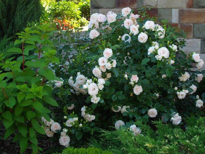 роза аспирин отзывы фото