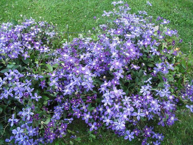 клематис ботанический арабелла