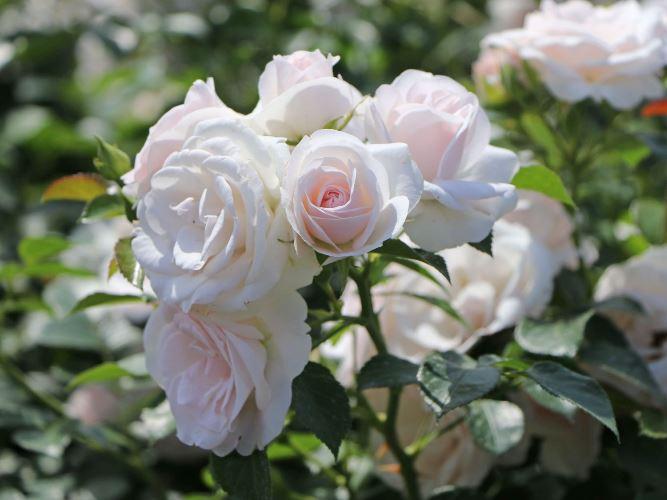 роза сорт аспирин фото
