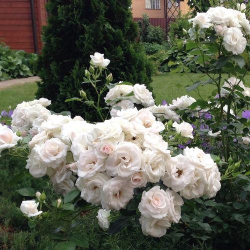 роза аспирин роуз фото