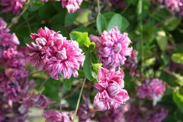 клематис ботанический пурпуреа плена элеганс