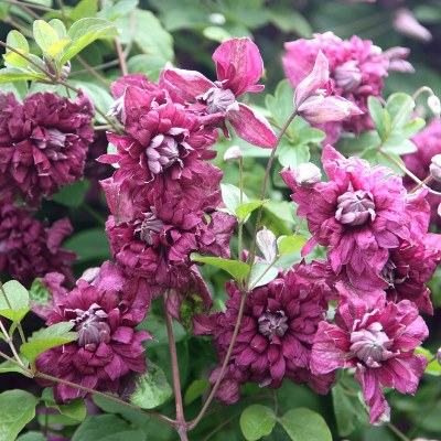 клематис пурпуреа плена элеганс описание