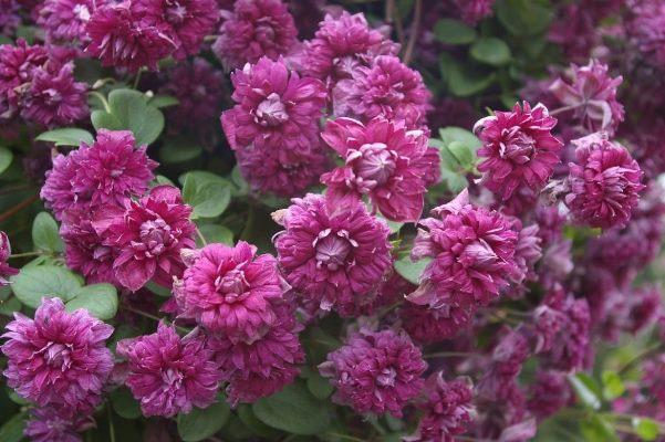 клематис пурпуреа плена элеганс отзывы