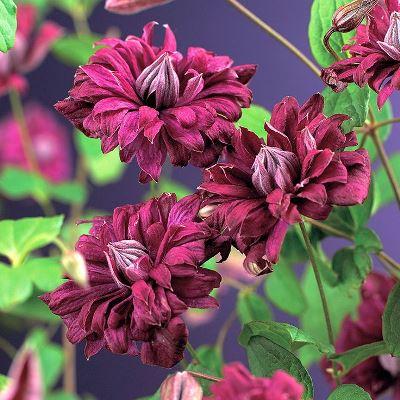 клематис жакмани пурпуреа