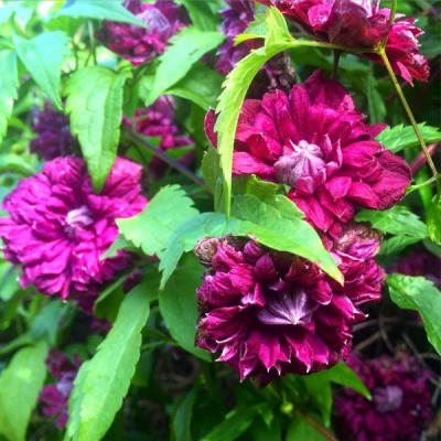 клематис пурпуреа плена элеганс фото и отзывы