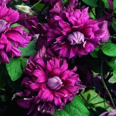 клематис пурпуреа