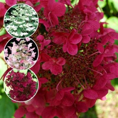 гортензия метельчатая малиновая вимс красный