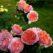 роза чиппендейл