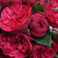 роза пиано