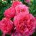 роза розарум ютерсен