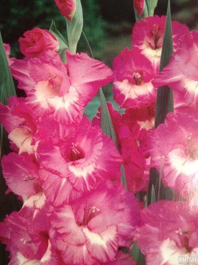 гладиолус валенсия фото
