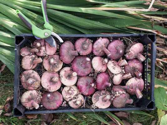 как выкопать луковицы гладиолусов 1