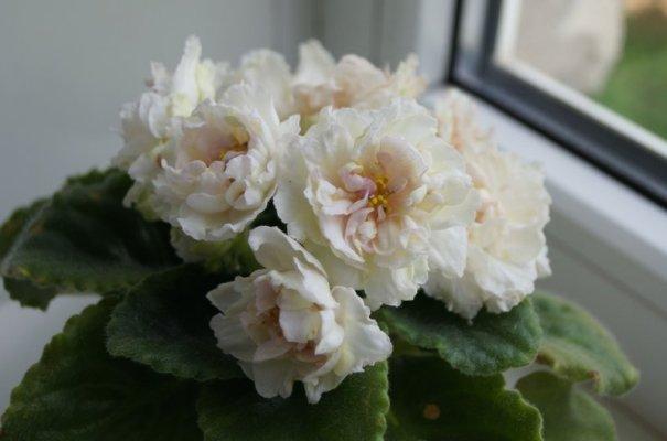 фиалка золотая лилия