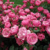 роза ангела фото и описание отзывы