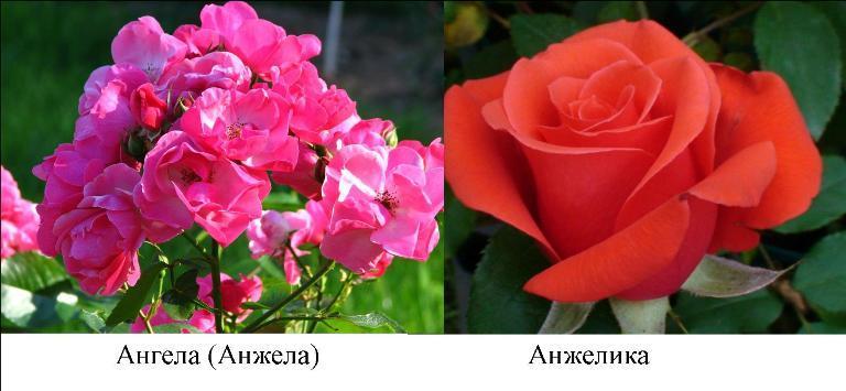 роза ангела-анжелика