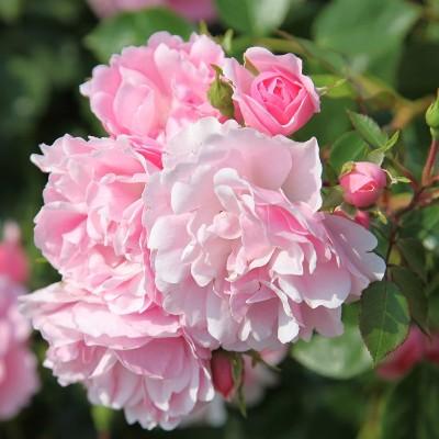 роза боника фото и описание