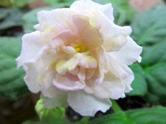 фиалка золотая лилия фото и описание