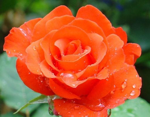 роза анжелика фото