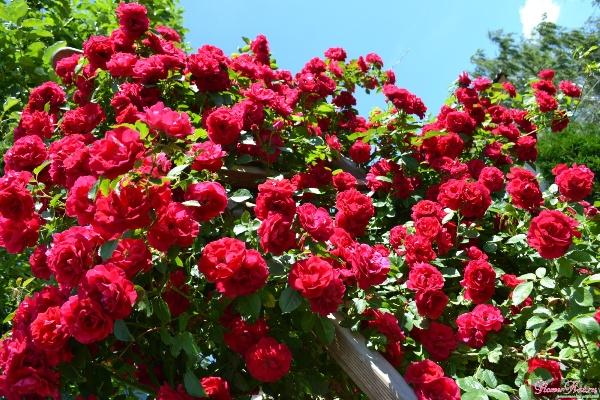 роза фламентанц фото и описание отзывы