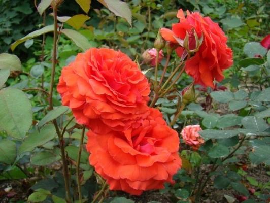 роза Angelique