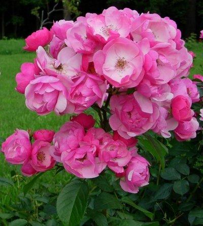 роза анжела фото и описание отзывы