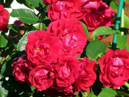 роза фламентанц фото и описание
