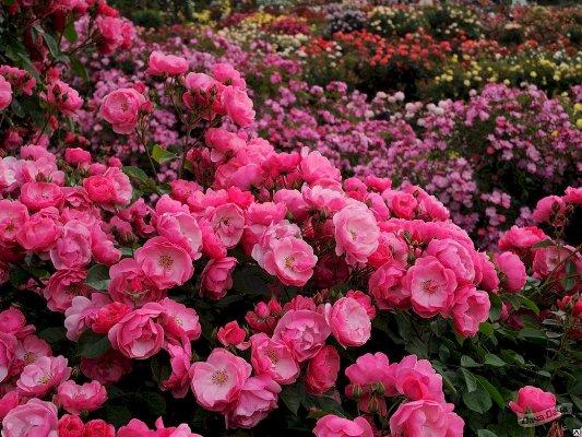 роза анжела фото