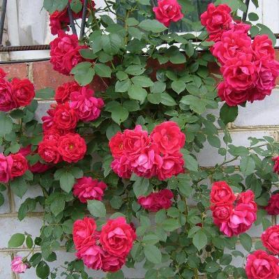 роза фламентанц фото
