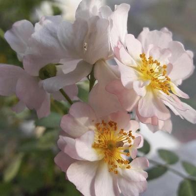 роза китайская крылья ангела выращивание из семян