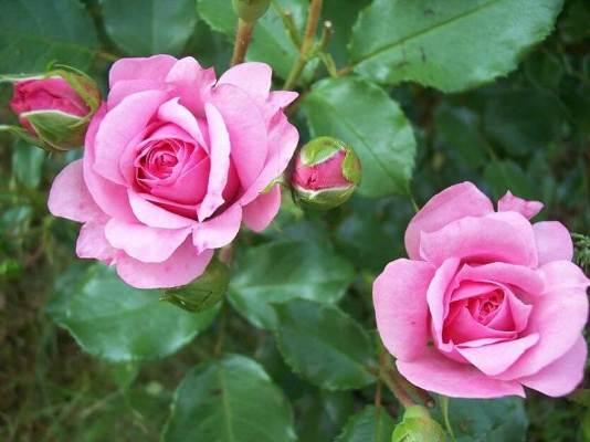 роза роял боника фото и описание отзывы