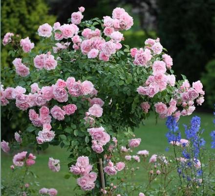 роза флорибунда боника фото и описание