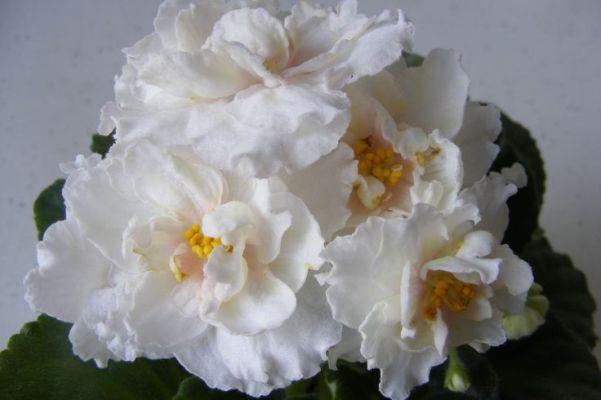 ле золотая лилия фиалка фото