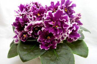фиалка перуанская лилия