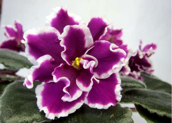ек перуанская лилия фиалка