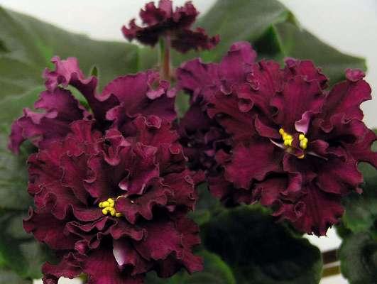 фиалка огненный цветок фото и описание сорта