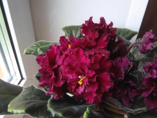 фиалка огненный цветок и описание сорта фото